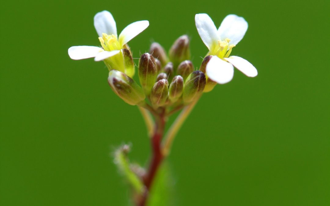 Kin Recognition in Arabidopsis
