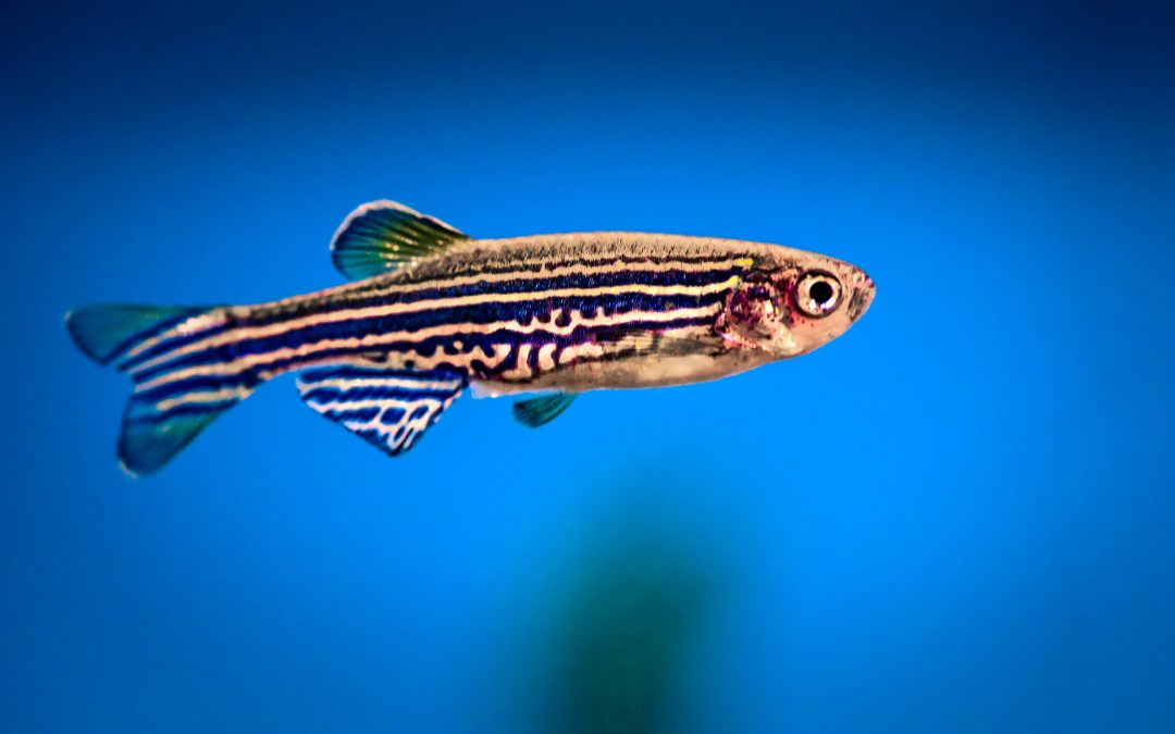 Brain Imaging in Zebrafish