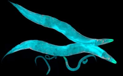 Longevity-Promoting Genes in C. elegans